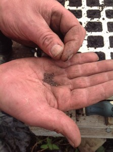 Tiny kale seeds